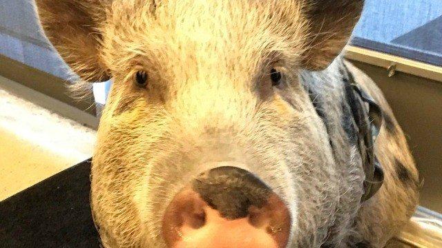 The Last of Us 2 realiza la captura de movimiento… de un cerdo